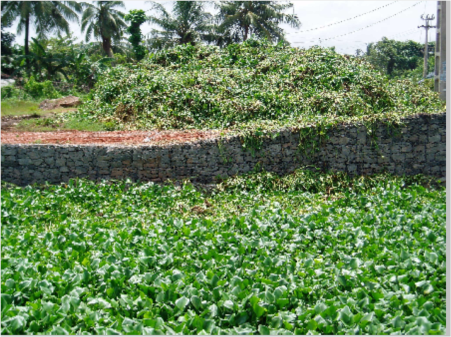 Jacinto de agua en un canal de Colombo