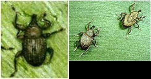 Neochetina eichhnorniae y Neochetina bruchi, agentes de control biológico del Jacinto de agua