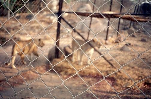 En la reserva de leones Zimbabwe 2