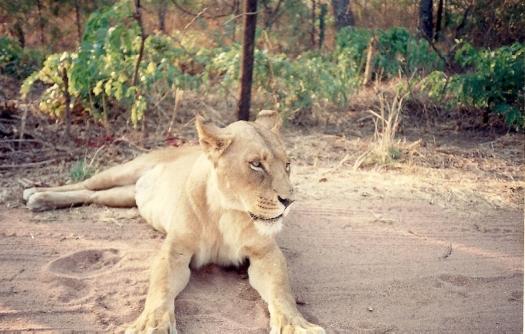 En la reserva de leones Zimbabwe 3