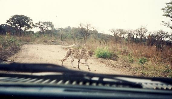 En la reserva de leones Zimbabwe