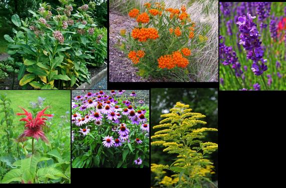 Plantas para incentivar la polinización Asclepias syriaca, Asclepias tuberosa, Lavandula angustifolia, Monarda didyma, Echinacea purpurea y Solidago canadensis