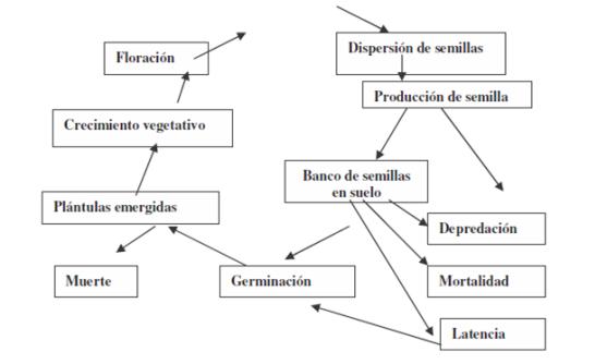 ciclo-de-vida-de-una-maleza-anual