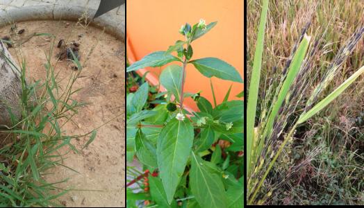 especies-comunes-en-arrozales-y-luego-no-vistas-al-rotarse-el-arroz-con-otros-cultivos
