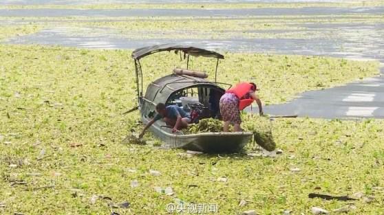 trabajadores-en-el-yang-tse-tratando-de-remover-masas-de-jacinto-de-agua