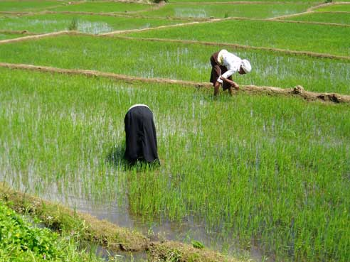 Weeding in rice