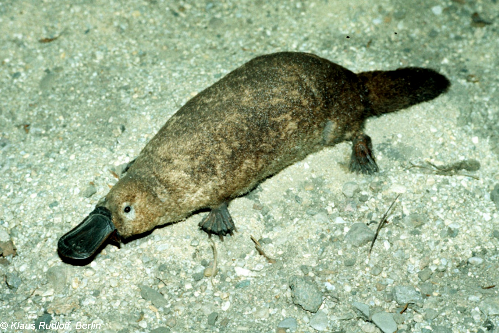 Ornithorhynchus anatinus