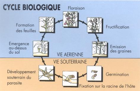 Ciclo biológico de plantas parásitas radicales