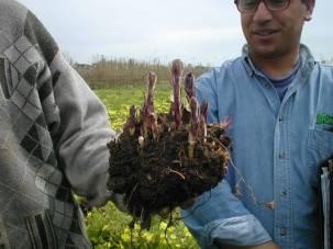 Los agricultores estudian el comportamiento de Orobanche crenata