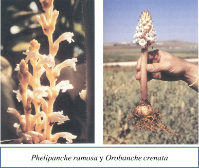 Orobanche species.png