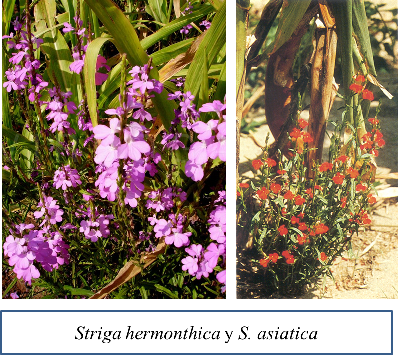 Striga species.png