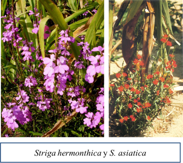 Striga species.png