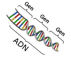 Forma de gen