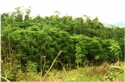 Área densamente poblada de S. campanulata en Fiji