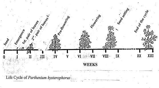 Ciclo de parthenium hysterophorus