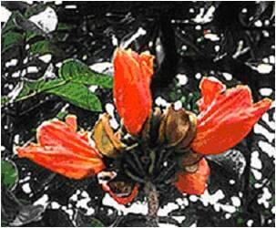 Flores de S. campanulata