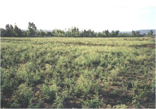 PTNHY ranked as the most important weed by 90% of the farmers in the lowlands while 86% of the farmers in the highlands ranked the former species as the worst weed in Eastern Ethiopia.