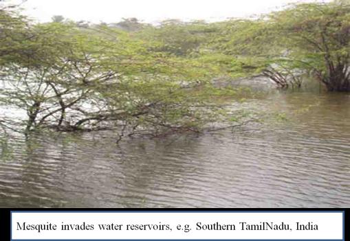 Prosopis Tamilnadu