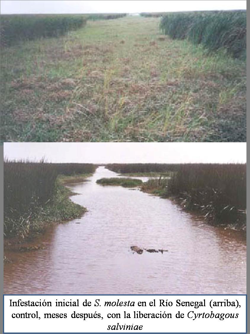 salvinia control en río senegal