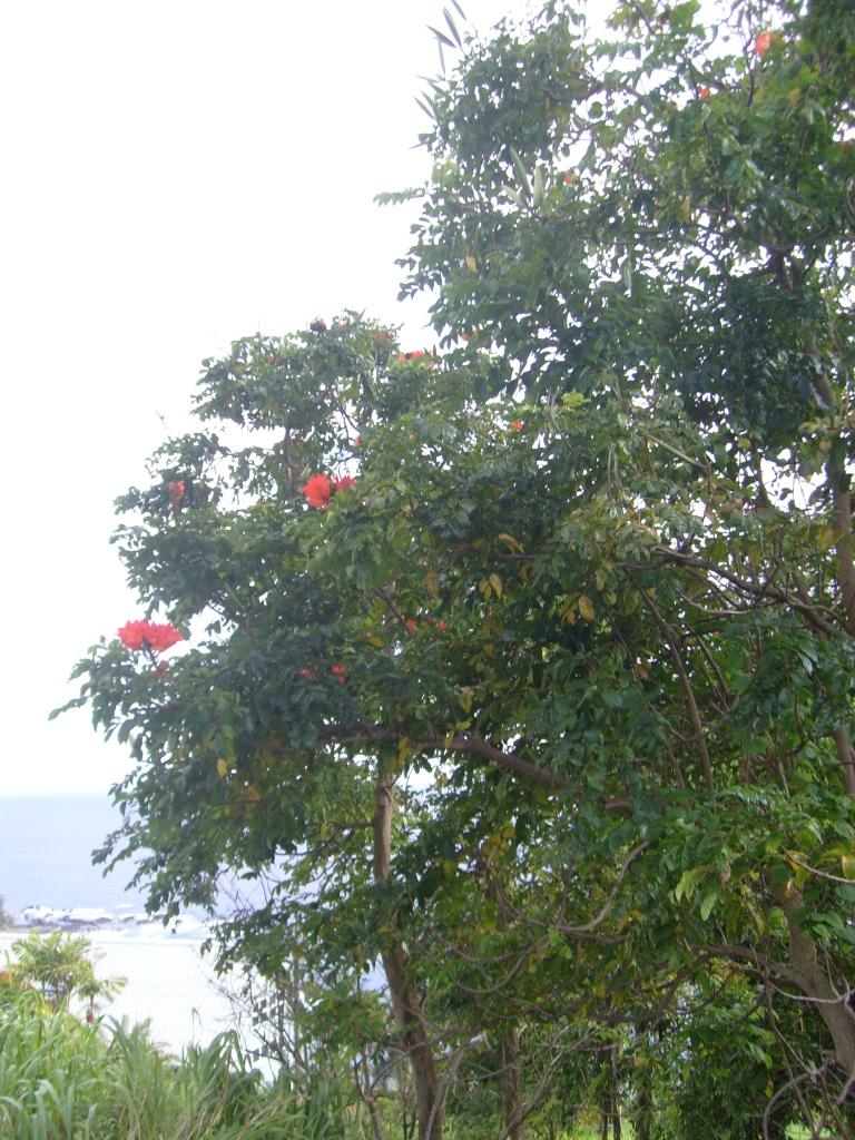 Spathodea campanulata en Big Island Hawai