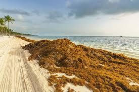 Sargazo en playas de Quintana Roo, México