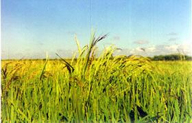arroz-maleza