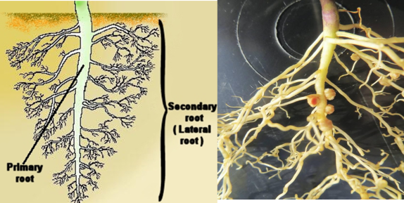 Lateral roots and nodulation.png