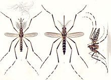 Aedes aegypti