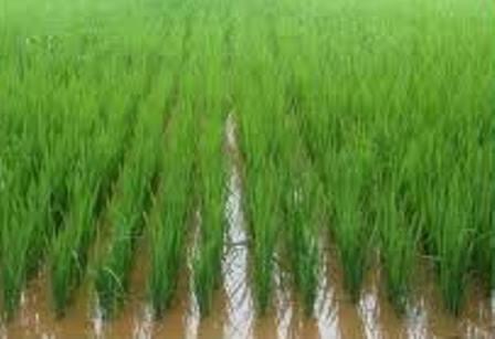 Ahijamiento arroz